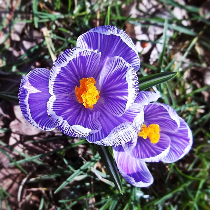 flor, porpra, flor, flor, fragància, herba, pètals