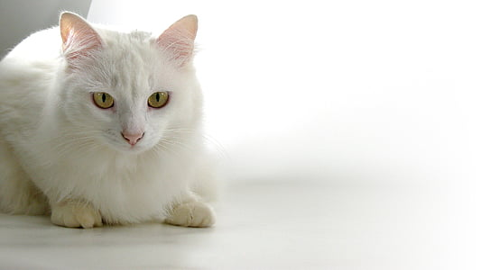 cat, persian, animals, catherine, white skin, pets, domestic Cat