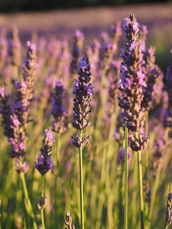 levandų laukas, Levanda, vakaro Saulė, levandų gėlės, violetinė, levandų auginimas, dekoratyvinių augalų