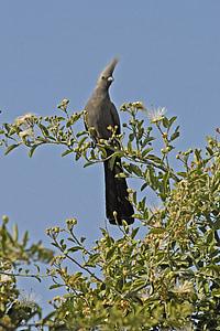 sparrow bird, botswana, bird, grey