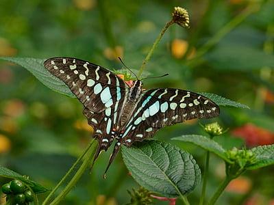 perhonen, eksoottinen, hyönteinen, Tropical, eläinten, siipi, Luonto