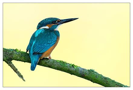 Vodomar, ptica, šarene, Crveni, plava, perje, pero