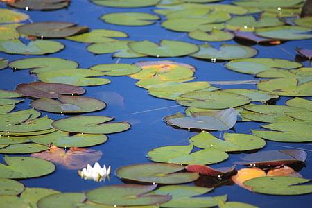 rybník, Lily podložky, rostliny, vodní, listy, botanické zahrady, Vodní lilie