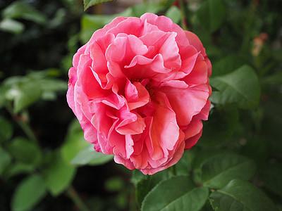 玫瑰绽放, 粉色, 上升, 花, 开花, 绽放, 浪漫