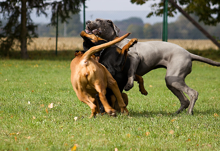 playing, dog, dogs, pet, wild game meat, play, cute
