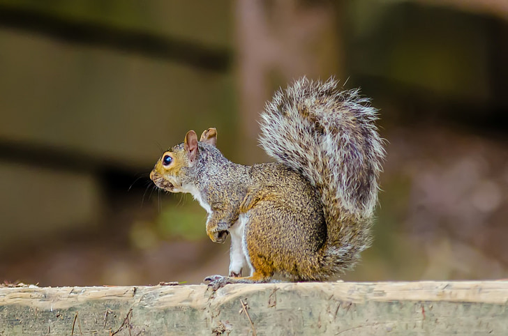 animal, rodent, squirrel, eastern gray, eastern gray squirrel, forest, ground squirrel