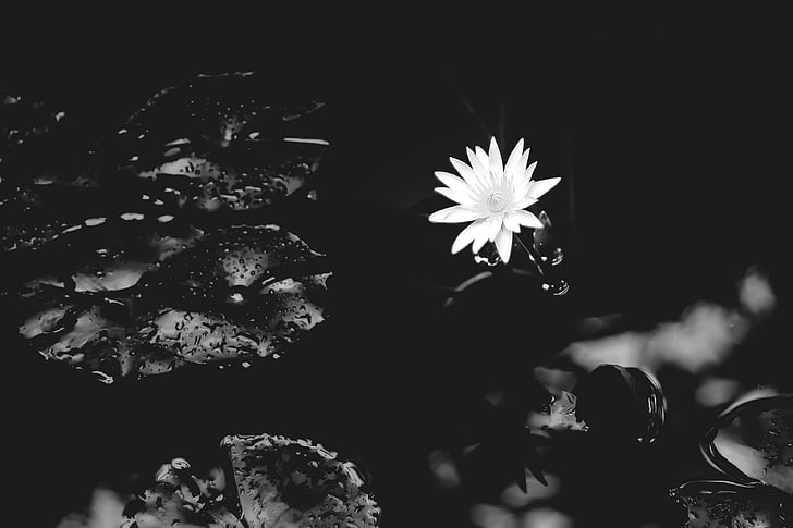ūdens lily, Lilija, ūdens, daba, puķe, balta, melnbalts