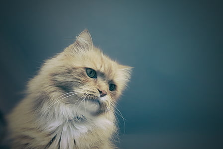 cat, feline, animal, cute, pet, domestic, fluffy