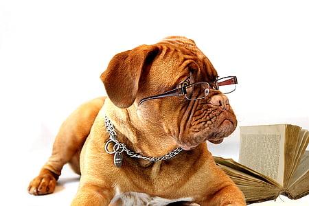gos, Dogo de Bordeus, Mastí, Bordeus, Borgonya, cadell, ella