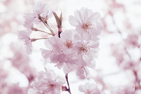 pink, blossoms, bloom, flower, garden, petals, nature