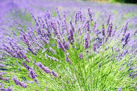 Lawendowe pole, kwiaty, fioletowy, Flora, kwiatowy, Lawenda, kwiaty lawendy