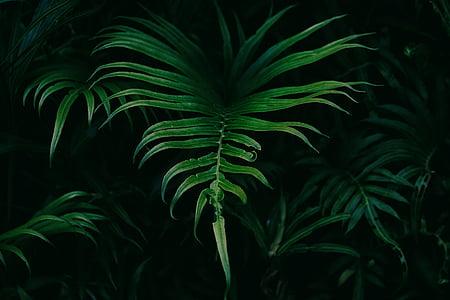 fulles, natura, planta, fulla, color verd, Palmera, fronda