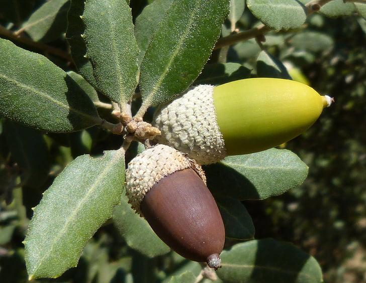 žaluď, Encina, staršie, dozrievanie, Zelená, ovocie