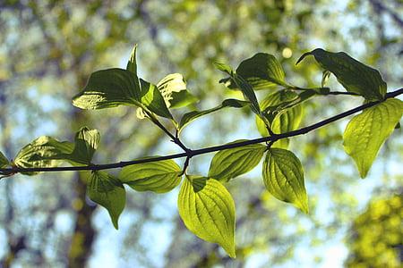 yaprakları, yeşillik, doğa, yaprak, Sezon, ağaç, doğal