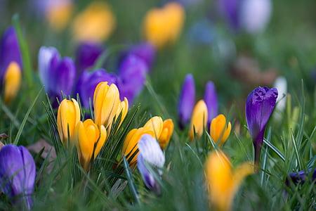 Crocus, õis, Bloom, lill, lilla, kollane, Kevad flower