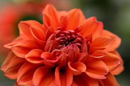 jardí, flor, dàlia, vermell, tancar, flor, flor