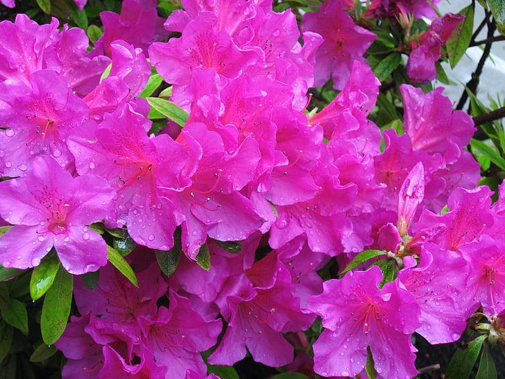maig, Azalea, Rosa, flors, pluja, gota d'aigua, fulla
