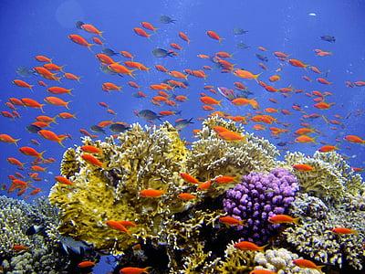 Submarinisme, sota l'aigua, escull, Coral, pancartes dures, món submarí, l'aigua