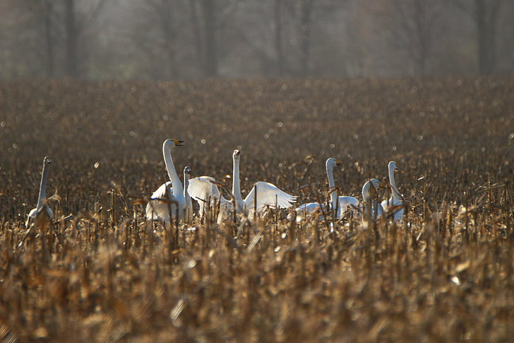 Поен лебед, птица, лебед, орни, поле, мигриращи птици, лебеди