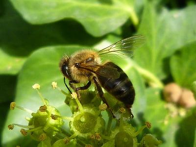 abella, Libar, verd, insectes, natura, nèctar, compilació