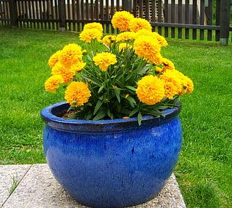 Amarant, kollane suvelilli, lilleaed, lill, loodus, taim