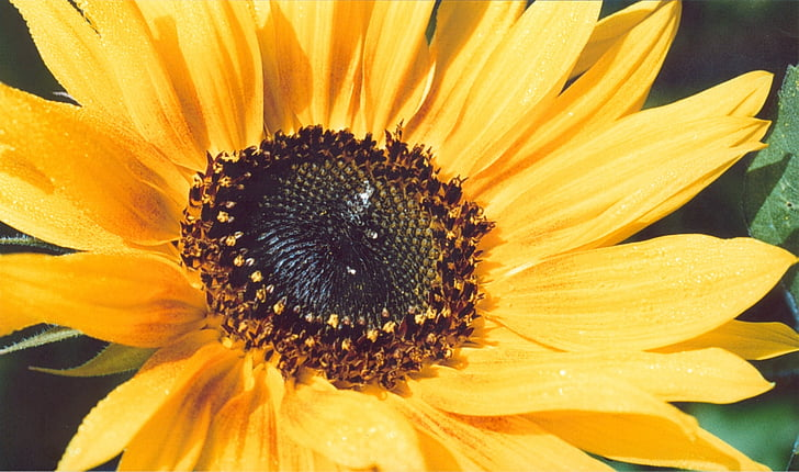 Sun flower, màu vàng, mùa hè, đóng