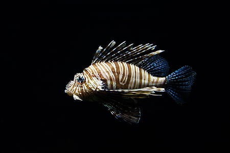nature, animal, fish, sea, lionfish, wildlife, zoo