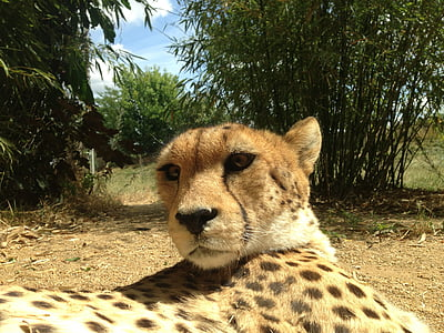 cheetahs, cheetah, animals, predator, cat, feline, cat face