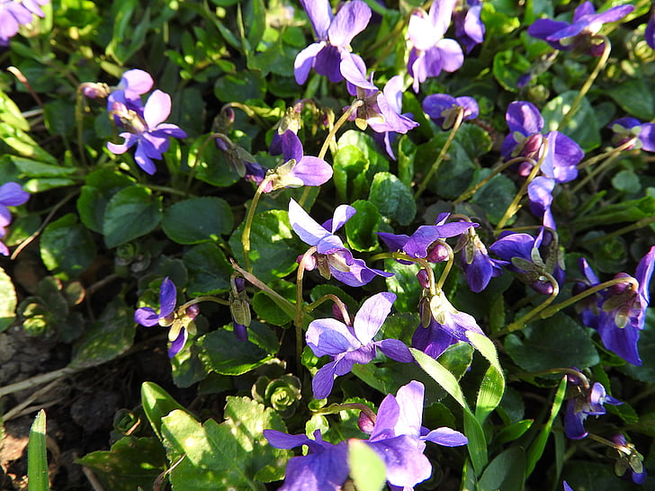 violeta, flors, flor, planta, primavera, violeta Wald