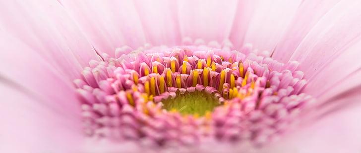 Gerbera, Pano, flor, Rosa, planta, macro, flor rosa