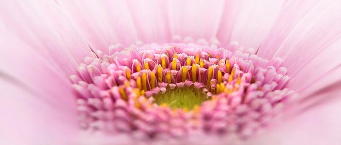 Gerbera, Pano, bloem, roze, plant, macro, roze bloem