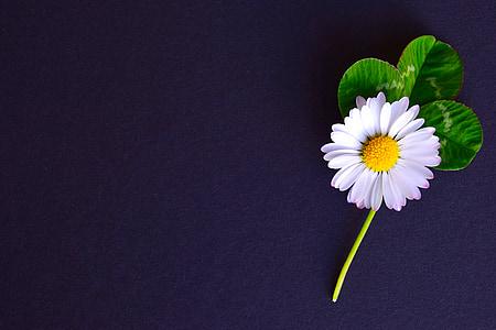 tausta, hanhet kukka, Four leaf apila, Daisy, kukka, Luonto, terälehti