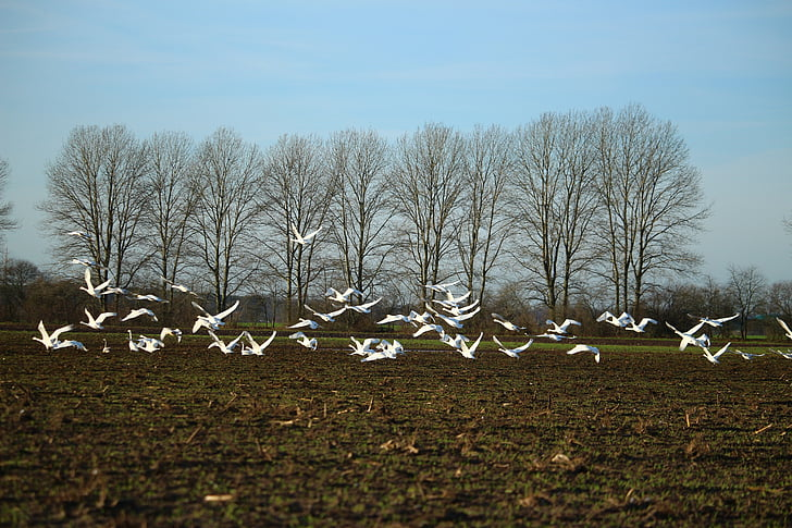 птицы, Лебедь, Лебедь-кликун, лебеди, поле, пахотные земли, рейс