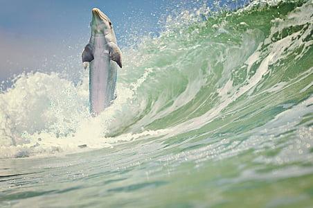 делфините, море, вълна, морски бозайници, вода, животни, природата