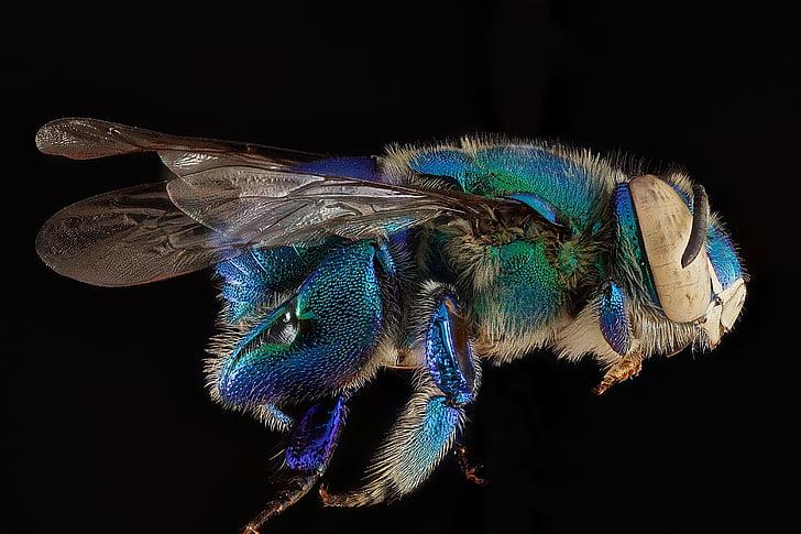 орхидея пчела, макрос, насекоми, Дилемата пчела, Криле, мъжки, профил