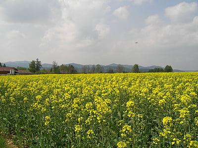 àmbit de rapeseeds, camp, flors