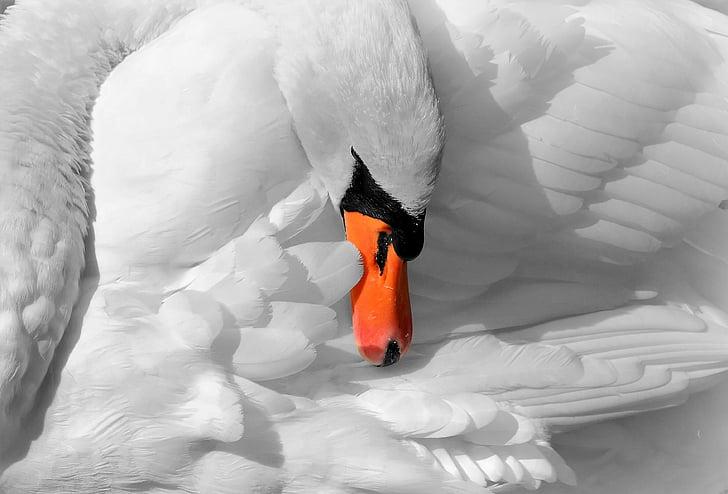 hayvanlar, Kuğu, doğa, kuş, Majestic, hayvan, Beyaz