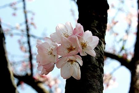 flor del cirerer, l'olor de la primavera, delicat, natura, arbre, branca, primavera