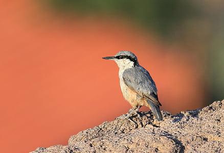 Скална зидарка, майстор фасади, природата, Скот, птица, натура, птица скали