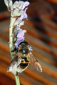 abella, lavanda, ales, flor, natura, insecte, porpra