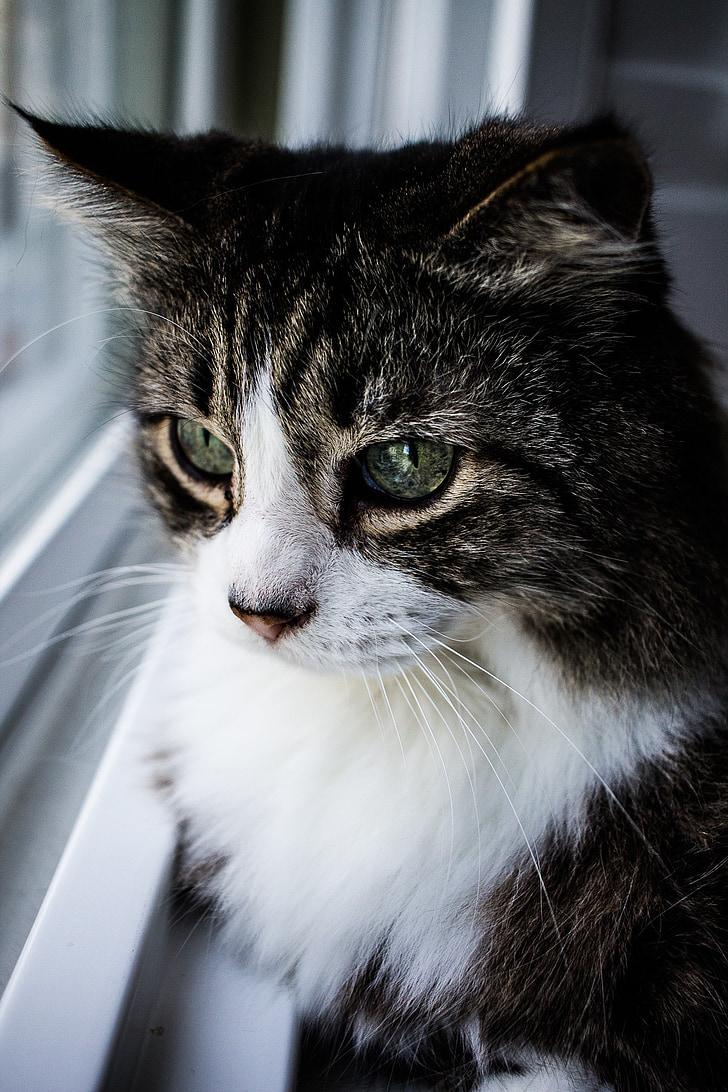kat, venster, dier, huisdier, bont, Indoor, schattig