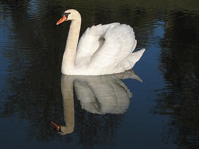 gulbis, putns, balta, elegants, spalva, ezers, skaists