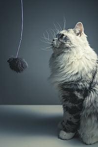 cat, persian breed, black grey, pets, naughty, sat