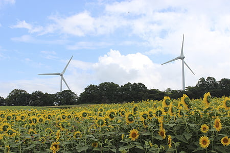 Fukushima, altiplà nunobiki, gira-sol, turbina de vent, l'estiu