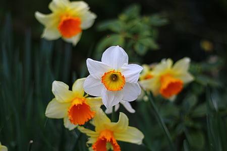 påskelilje, blomst, våren, natur, hage, vårblomster