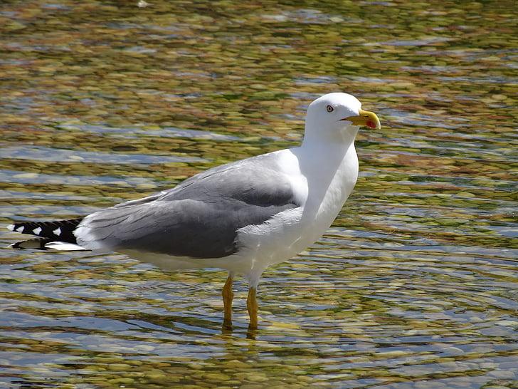 lokki, Sea bird, Linnut