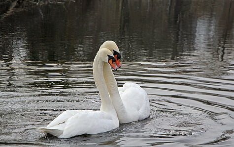 spring, swans, nature, swan, water bird, mute swan, animals in the wild