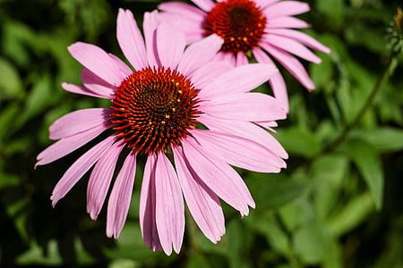 topi matahari, bunga, Blossom, mekar, Bunga Keranjang, coneflower ungu, Echinacea