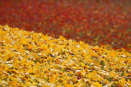 views, autumn, autumnal leaves, red, huang, ginkgo biloba, fallen leaves