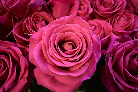 roses, flower, pink flower, flower color pink, pink flowers, flowers, rose - Flower
